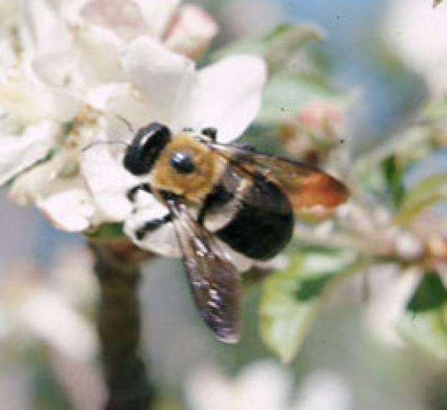 carpenter-bee-1203155